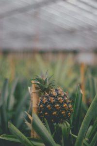 Ananas im Gewächshaus