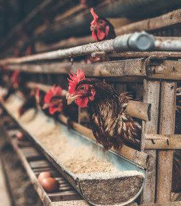 Tränke im Hühnerstall