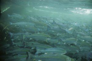 Lachs dicht aufeinander gedrängt in einer Aquakultur