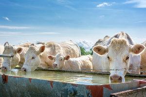 Rinder stillen ihren Durst an einer Tränke